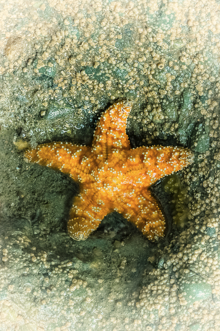 Ochre Sea Star at Point of Aches in Olympic National Park