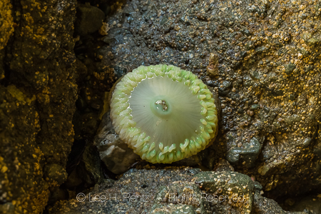 Giant Green Anemone in Dark Microhabitat, Lacking Green Algae, a