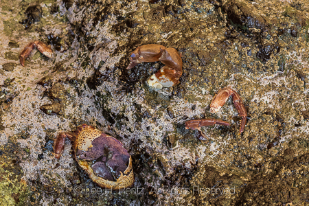 Shell of Crab Consumed by a Predator in Olympic National Park