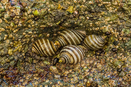Emarginate Dogwinkles at Point of Arches in Olympic National Par