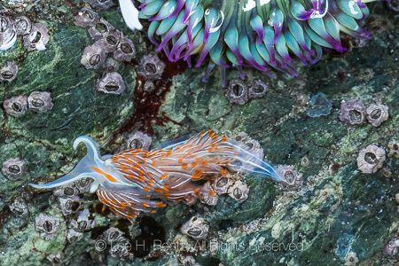 Opalescent Nudibranch at Point of Arches in Olympic National Par