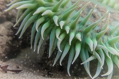 Giant Green Anemone at Point of Arches in Olympic National Park