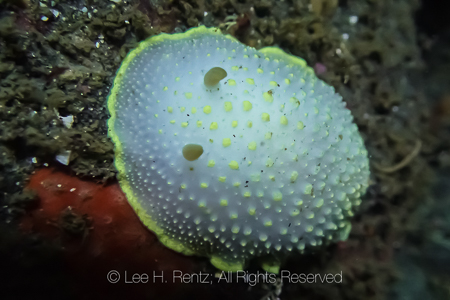 Cadlina luteomarginata at Point of Arches in Olympic National Pa