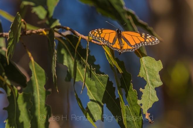 Monarch Butterflies Wintering at Pismo Beach