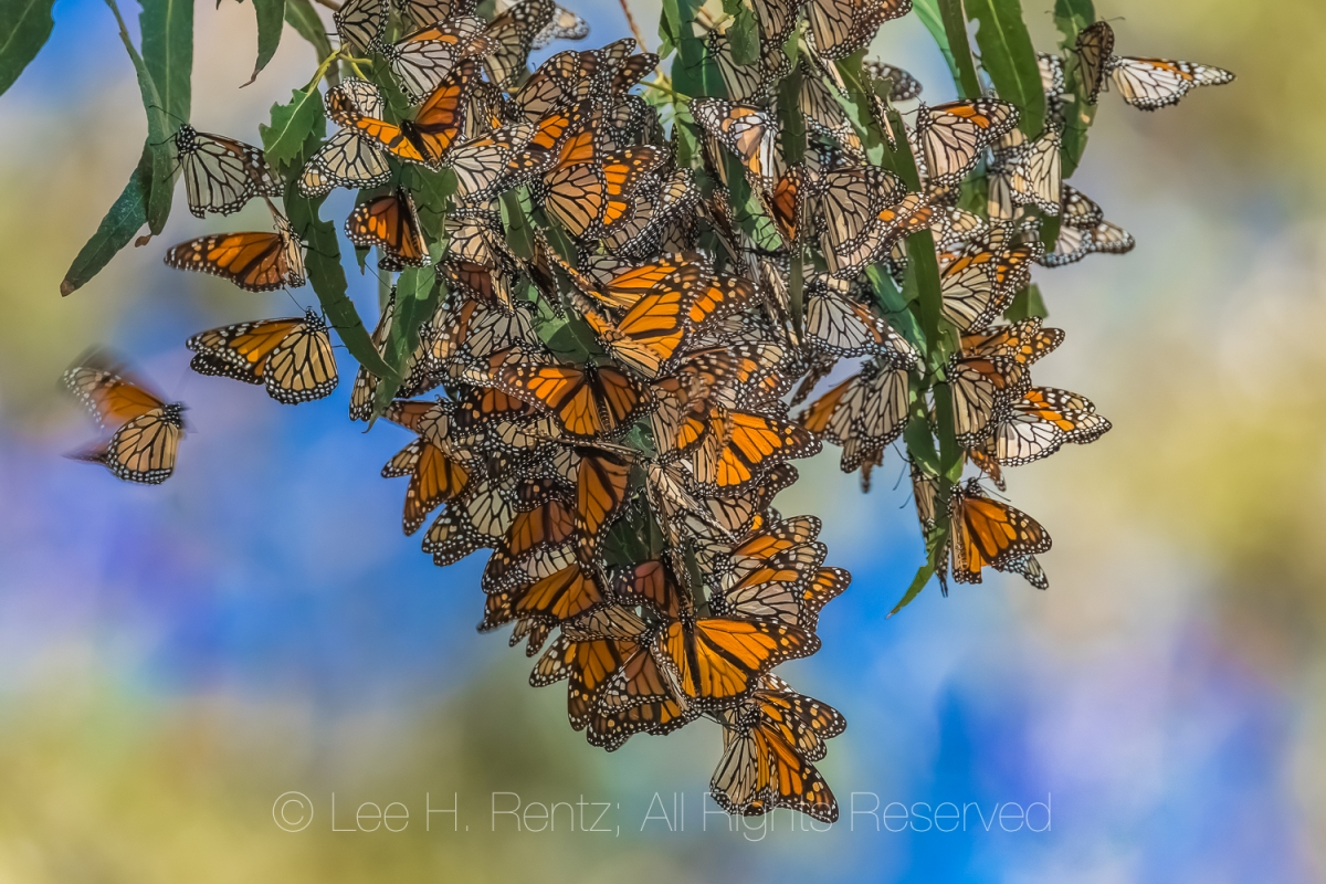 MONARCHS IN WINTER