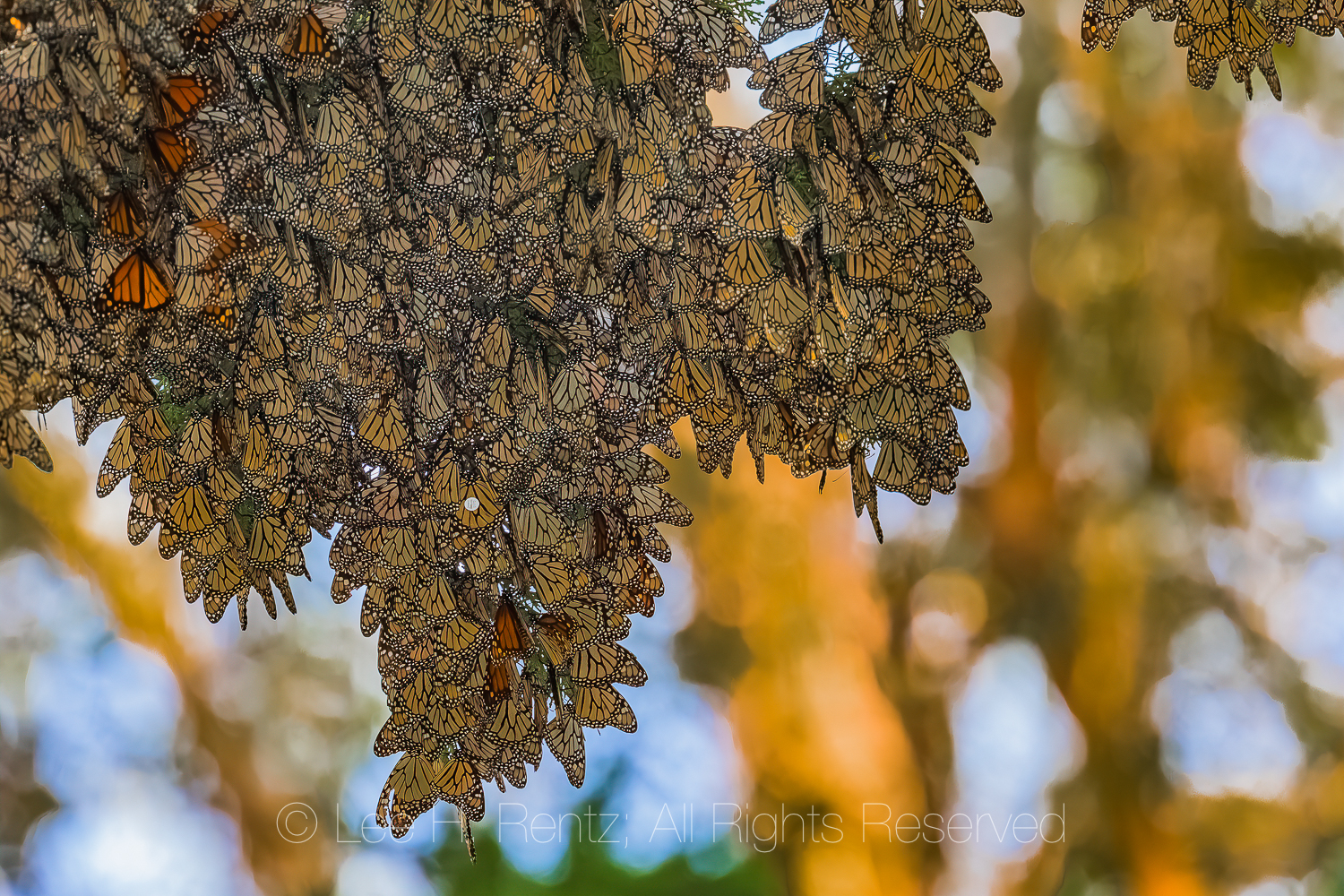 Monarch Butterflies Wintering along California Coast