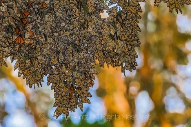 Monarch Butterflies Wintering along California Coast