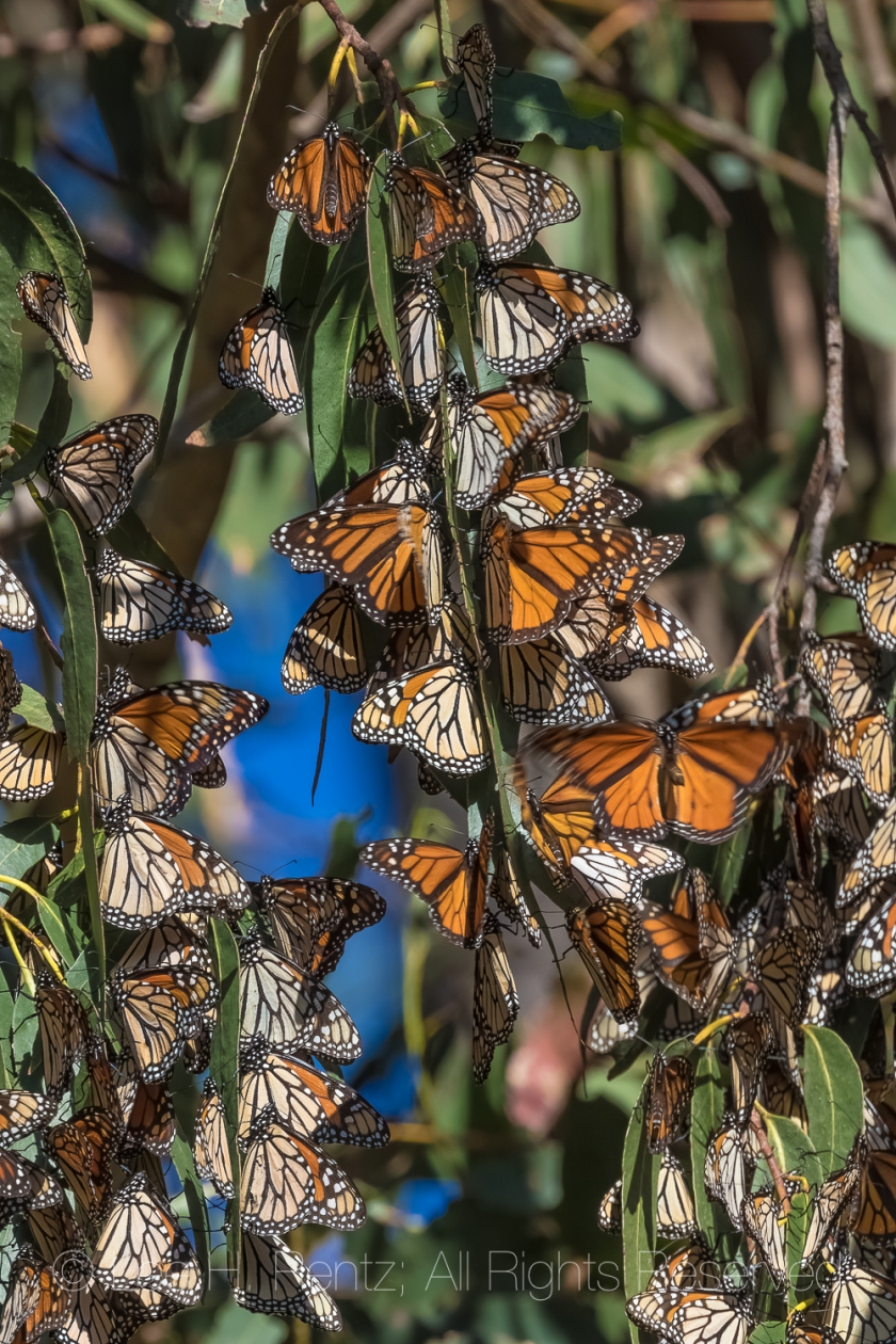 Monarch Butterflies Wintering at Pismo Beach