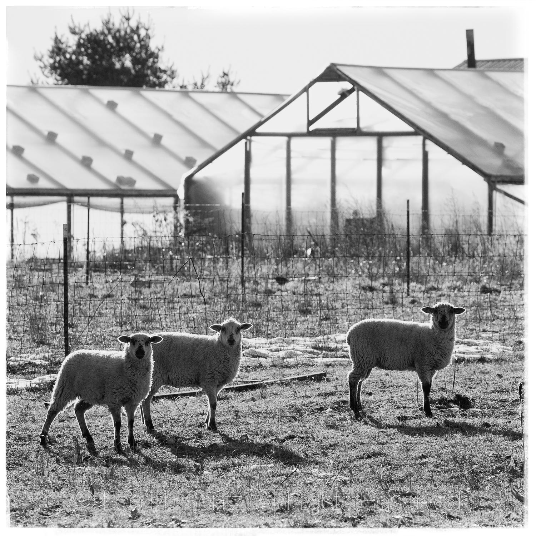 THREE SHEEP WHITE BORDERS MASTER