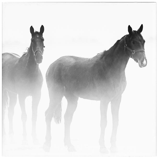 TWO HORSES WHITE BORDER MASTER